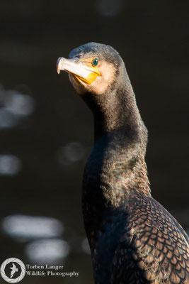 Phalacrocorax carbo / Great Cormorant / Kormoran