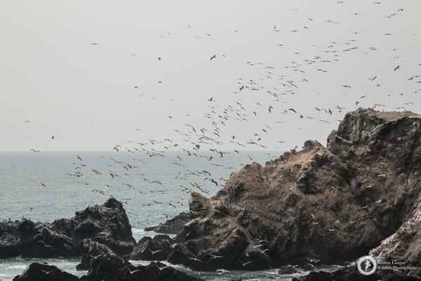 Many many pelicans on Isla Foca