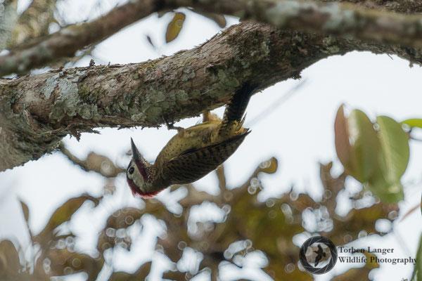 Colaptes punctigula / Spot-breasted Woodpecker / Tüpfelbrustspecht ♂