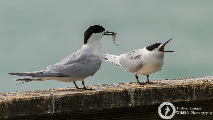 White-fronted Terns at Timaru