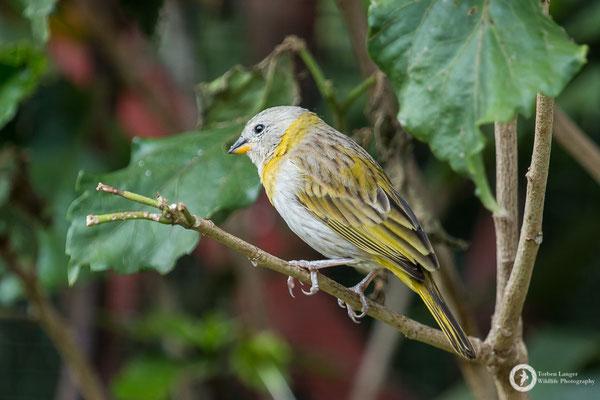 Sicalis flaveola / Saffron Finch / Safrangilbtangare juv.
