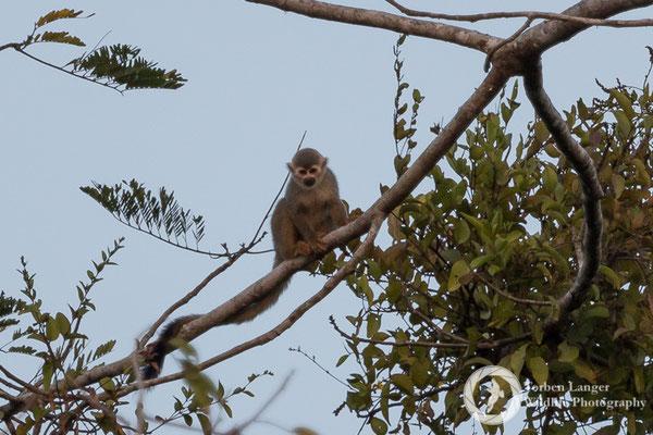 Saimiri sciureus / Common Squirrel Monkey / Gewöhnlicher Totenkopfaffe
