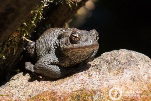 Bufo bufo / Common Toad / Erdkröte