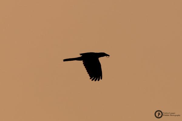 Psarocolius angustifrons / Russet-backed Oropendola / Breithauben-Stirnvogel