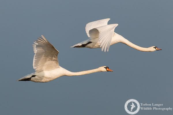 Cygnus olor / Mute Swan / Höckerschwan