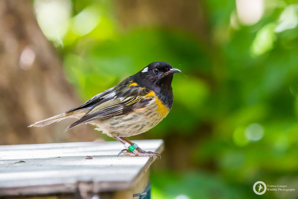 Notiomystis cincta / Stitchbird / Stichvogel / Hihi ♂