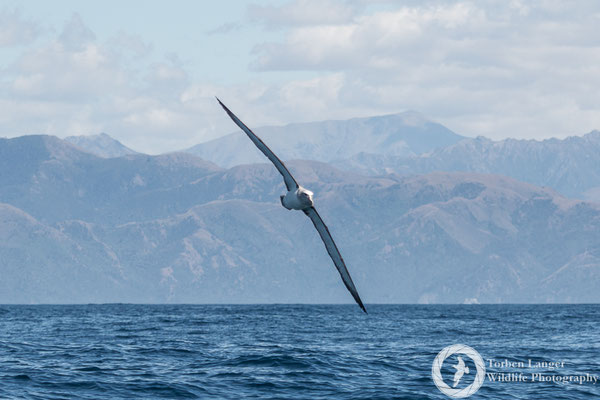 A Salvin's Albatross in the coastal waters of Kaikoura.