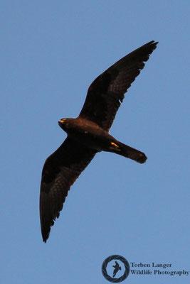 Falco eleonorae / Eleonora's Falcon / Eleonorenfalke
