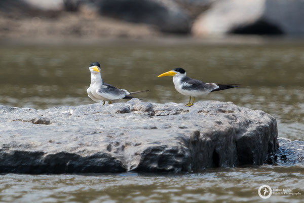 Phaetusa simplex / Large-billed Tern / Großschnabel-Seeschwalbe