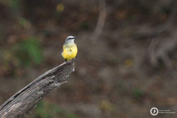 Tyrannus melancholicus / Tropical Kingbird / Trauerkönigstyrann