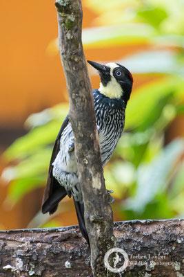 Melanerpes formicivorus / Acorn Woodpecker / Eichelspecht ♀