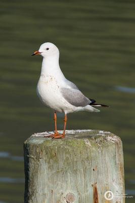 Larus novaehollandiae / Silver Gull / Silberkopfmöwe