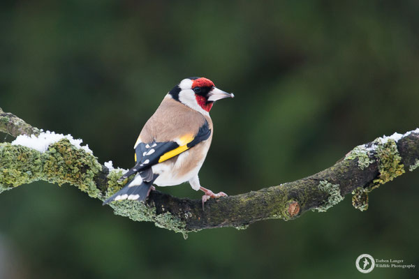 Carduelis carduelis / European Goldfinch / Stieglitz