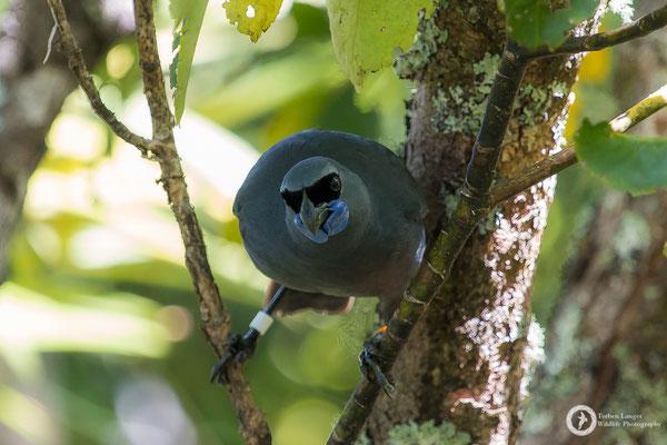 Callaeas wilsoni / North Island Kokako / Graulappenvogel