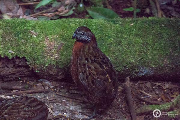 Odontophorus speciosus / Rufous-breasted Wood-Quail / Rotbrustwachtel