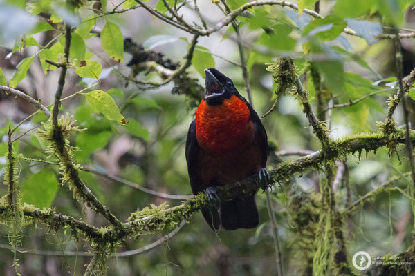 Pyroderus scutatus / Red-ruffed Fruitcrow / Kotkehlkotinga ♂