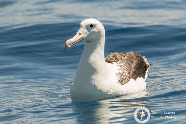 Diomedea sanfordi / Northern Royal Albatross / Nördlicher Königsalbatros