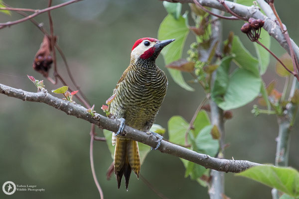Colaptes rubiginosus / Golden-olive Woodpecker / Olivmantelspecht