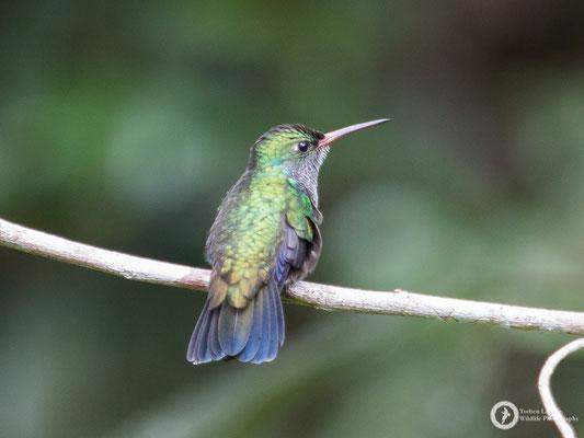 Spot-vented Emerald