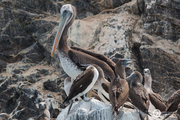 Pelecanus thagus / Peruvian Pelican / Chilepelikan & Sula nebouxii / Blue-footed Booby / Blaufußtölpel