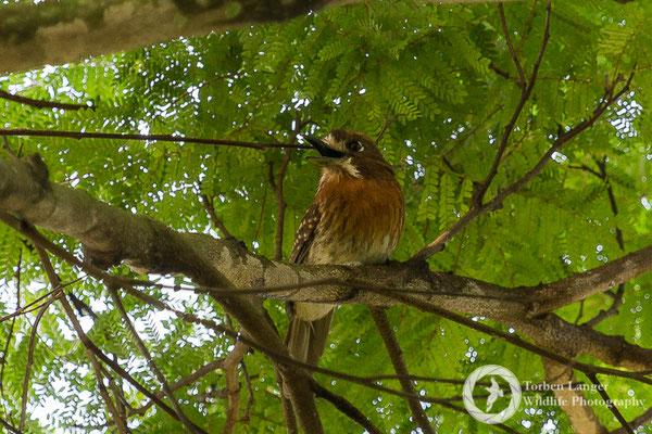 Malacoptila mystacalis / Moustached Puffbird / Schnurrbart-Faulvogel