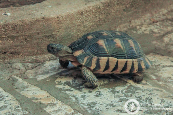 A tortoise in Athens