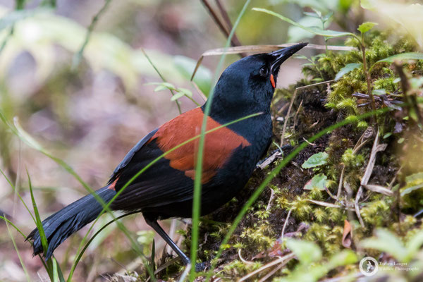 Philesturnus carunculatus / South Island Saddleback / Südinsel-Sattelvogel