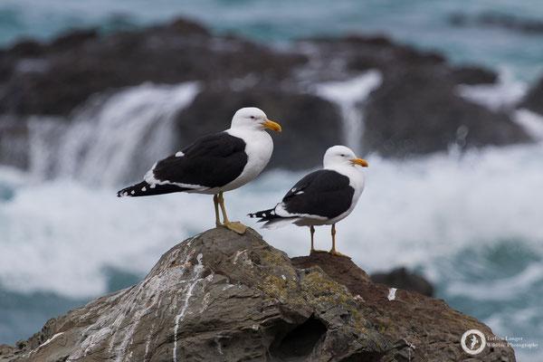 Larus dominicanus / Kelp Gull / Dominikanermöwe