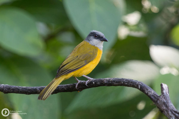 Eucometis penicillata / Grey-headed Tanager / Graukopftangare