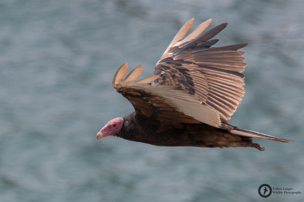 Cathartes aura / Turkey Vulture / Truthahngeier