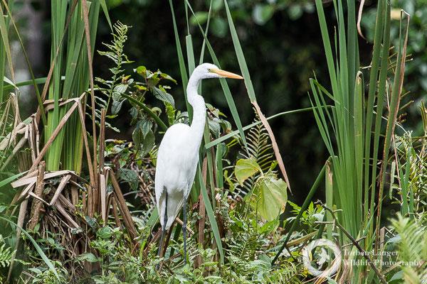 Ardea alba / Great White Egret / Silberreiher