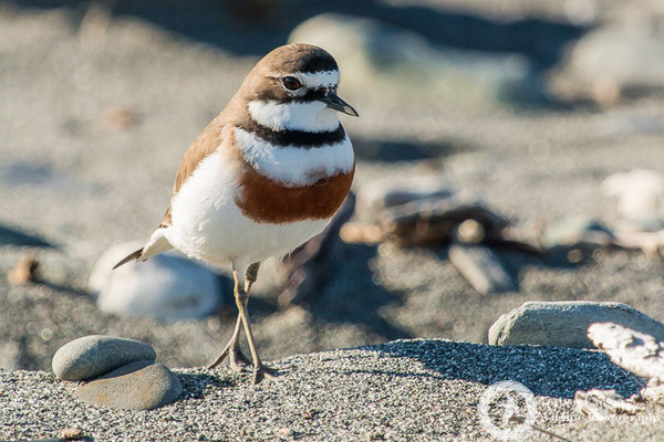 A male Double-banded Plover at Gillespies Beach