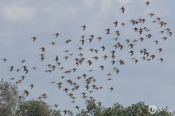 A flock of Black-tailed Godwits