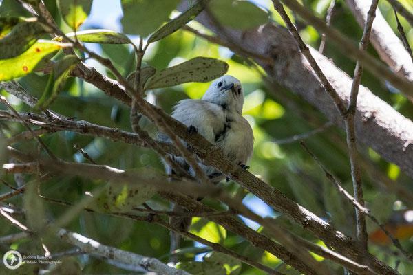 Mohoua albicilla / Whitehead / Weißköpfchen