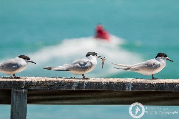 White-fronted Terns in Timaru
