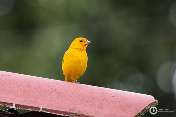 Sicalis flaveola / Saffron Finch / Safrangilbtangare ♂