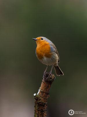 Erithacus rubecula / European Robin / Rotkehlchen