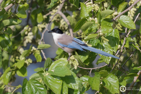 Iberian Azure-winged Magpie - very cool endemic