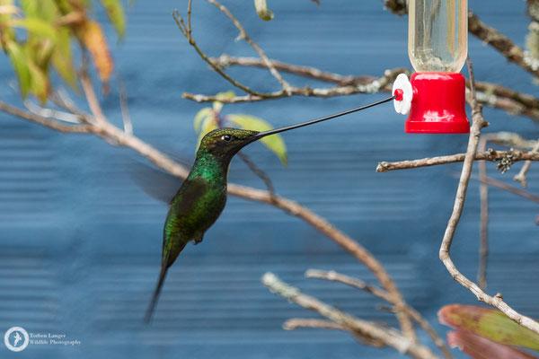Ensifera ensifera - Sword-billed Hummingbird - Schwertschnabelkolibri ♂