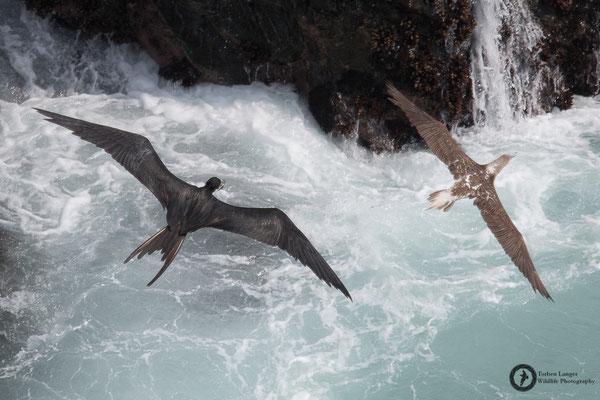 Fregata magnificens / Magnificent Frigatebird / Prachtfregattvogel ♂