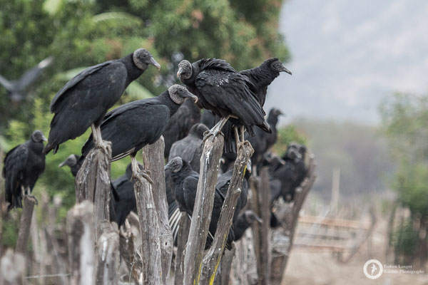American Black Vultures
