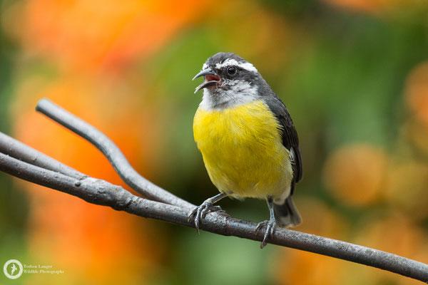 Coereba flaveola / Bananaquit / Zuckervogel