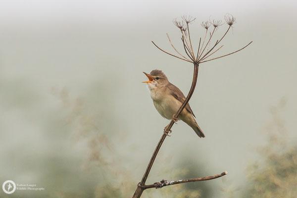 Acrocephalus palustris / Marsh Warbler / Sumpfrohrsänger