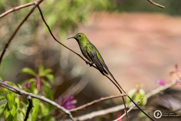 Lesbia victoriae - Black-tailed Trainbearer - Schwarzschwanzsylphe ♂