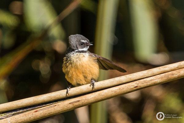 Rhipidura fuliginosa / New Zealand Fantail / Neuseeland-Fächerschwanz