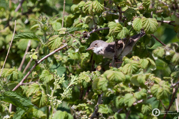 Sylvia communis / Common Whitethroat / Dorngrasmücke