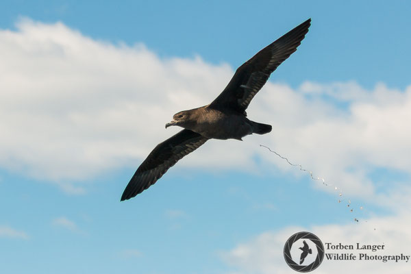 Ardenna carneipes / Flesh-footed Shearwater / Blassfuß-Sturmtaucher