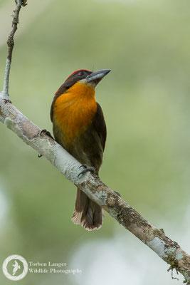 Capito aurovirens / Scarlet-crowned Barbet / Olivrücken-Bartvogel ♂