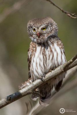 Glaucidium passerinum / Eurasian Pygmy-Owl / Sperlingskauz