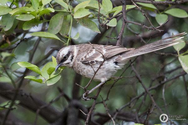 Lon-tailed Mockingbird